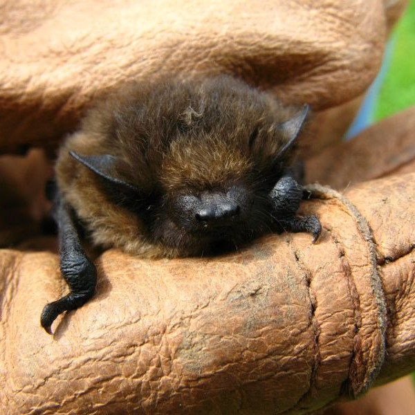common pipistrelle Alan Roe
